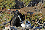 father frigate bird with baby Galapagos Ecuador