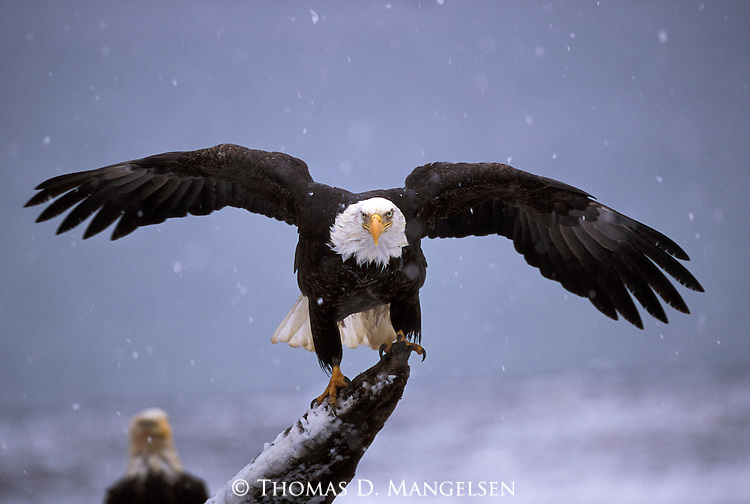 Bald eagle perched on a piece of driftwood in Southeast Alaska.