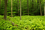 Sugar Maple (Acer saccharum) and Yellow Birch (Betula alleghaniensis) trees, with Mountain Wood Fern (Dryopteris campyloptera) understory in northern hardwood forest in summer, Williamstown, Taconic Trail State Forest, Berkshires, Massachusetts