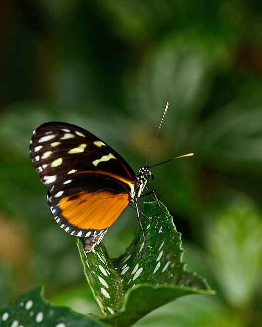 A Tiger Longwing sits on a white-spotted green leaf with head, antennae, eye, probiscus clearly prominent against a mulit-shaded background.