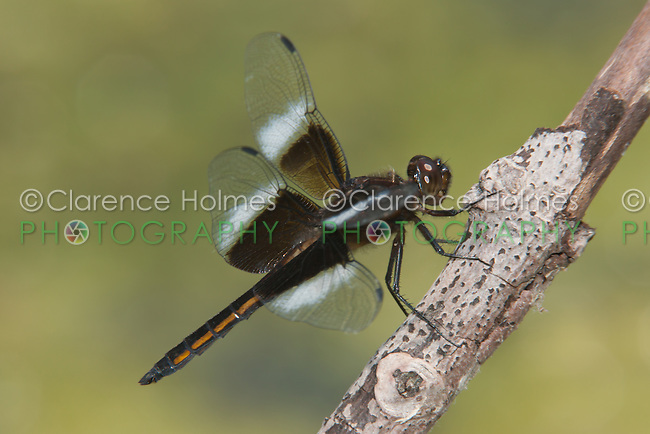 Widow Skimmer (Libellula luctuosa) Dragonfly - Male, Rockefeller State Park Preserve, Potanico Hills, Westchester County, New York