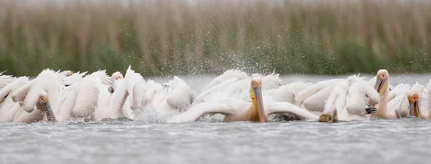 White Pelican (Pelecanus onocrotalus) in Danube Delta, Romania. May 2009 <br /> Mission: White Pelican