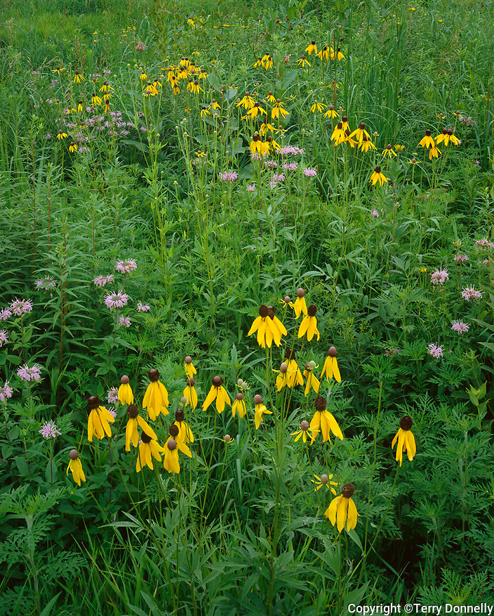 Goose Lake Prairie State Natural Area, IL: Prairie Coneflower (Ratbidia pinnata) & Wild Bergamot (Monarda fistulosa) flower among native grasses