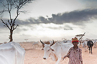 A young boy taking bone-thin cattle  in search of pasture at the edge of Dagahaley refugee camp in Kenya. many recently arrived Somali refugees have lost all of their animals to the ravishing effects of a prolonged drought in Somalia. Animals  that are still alive are wasting from lack of pasture.