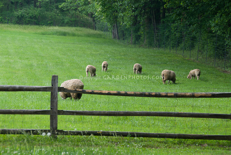 Wool sheep grazing in meadow on farm