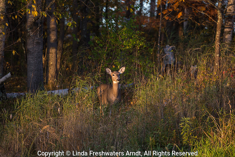 White-tailed doe standing in the warmth of the late afternoon sun.