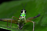 Airplane Grasshopper, Eumastricidae sp., Manu, Peru, on leaf, jungle, portrait,. .South America....