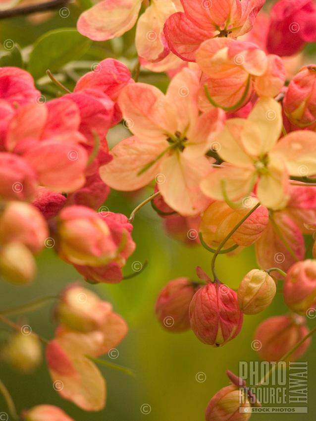 A close-up of rainbow shower tree blossoms, Wailua Homesteads, Kapa'a, Kaua'i.
