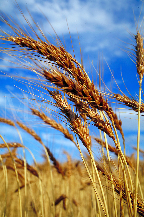 mature golden brown wheat grains in field with blue sky and clouds behind. crop, agriculture, grain, farm, food, staple, Americana. Oregon.
