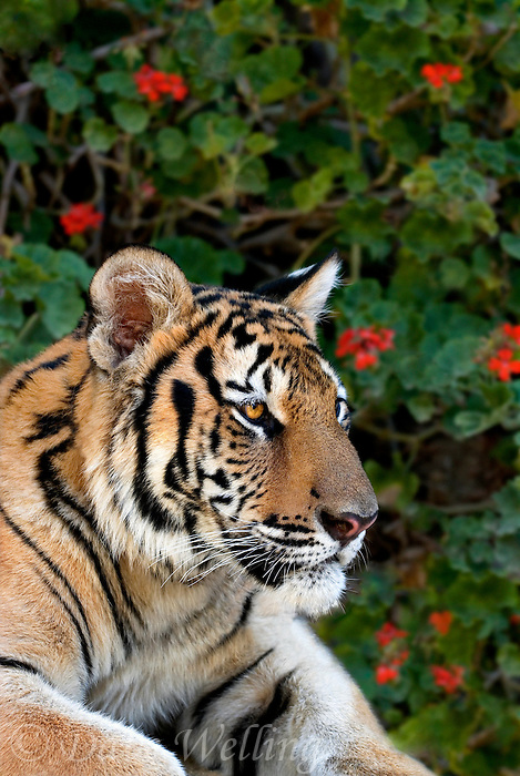 684080007 a juvenile wildlife rescue siberian tiger panthera tigris altaicia rests near his enclosure at a wildlife rescue facility - species is highly endangered in the wild - mungar