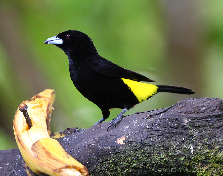 Male lemon-rumped tanager