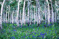 A stand of old-growth aspen trees are surronded by wildflowers Dixie National Forest in Southern Utah