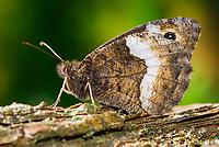 Rock Grayling Butterfly (Hipparchia alcyone)