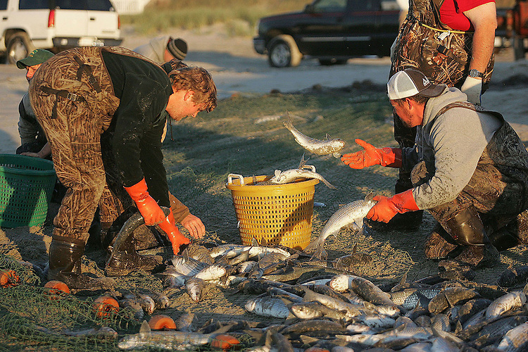 Chuck Beckley   after being brought to shore the net is picked through, filling baskets that fill the beds of pickups.