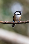 Black-capped chickadee, coast mountain range, Oregon