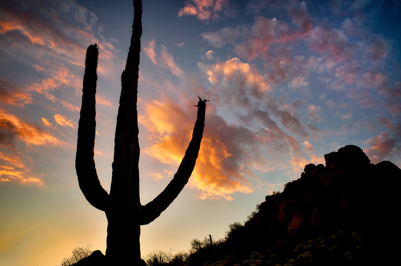 Saguaro cactus and sunset clouds. Sonoran Desert, Arizona