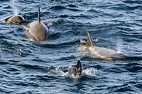killer whale or orca, Orcinus orca, Type B orca, hunting a seal, Gerlache Strait, Bransfield Strait, Antarctica, Southern Ocean