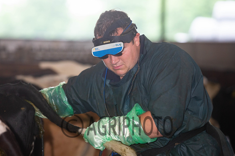 19.6.2020 A vet pregnancy testing dairy cows <br /> ©Tim Scrivener Photographer 07850 303986<br />      ....Covering Agriculture In The UK.