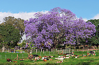 Jacaranda pastoral scene on Maui in Hawaii