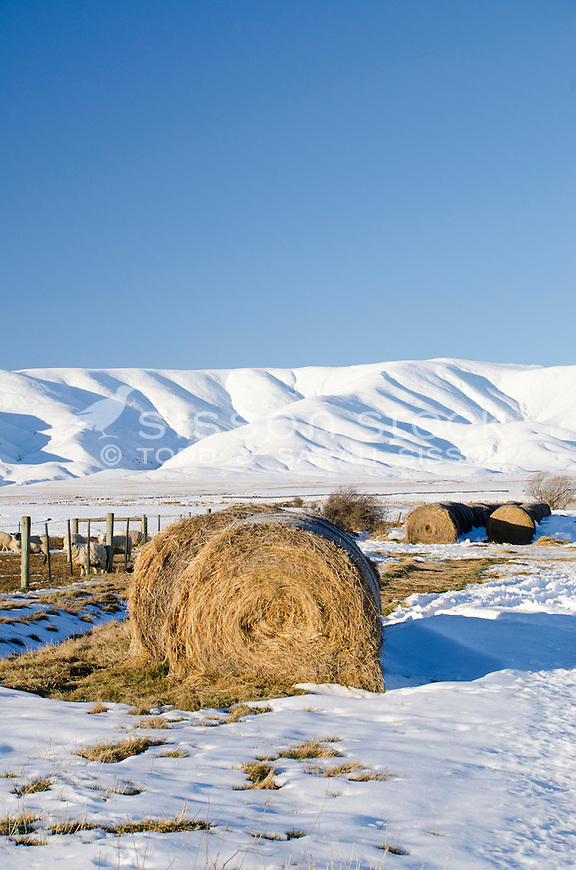 Round bales of  hay  on snow covered ground provides winter feed for sheep near Wedderburn, Central Otago. The Hawkdun Range can be seen behind.
