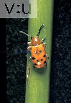 Asparagus Beetle (Crioceris duodecimpunctata), Chrysolmelidae.