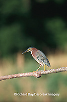 00687-012.15  Green Heron (Butorides virescens) in wetland Marion Co.  IL