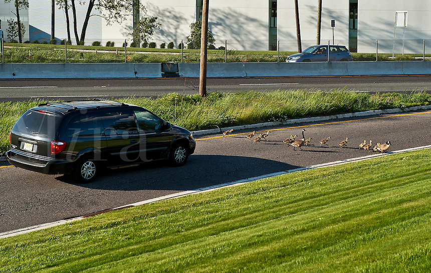 Canadian geese and gosslings cross a busy road.