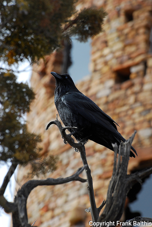 Raven near tower, Grand Canyon