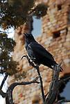Raven near tower, Grand Canyon