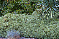 Veronica (Hebe) topiaria with Festuca glauca 'Casca11' Beyond Blue™ in front and Yucca recurva above