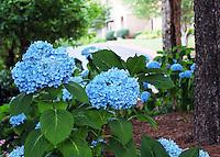 Stock photo: Blue Hydrangea bulbs in community garden in Georgia USA.