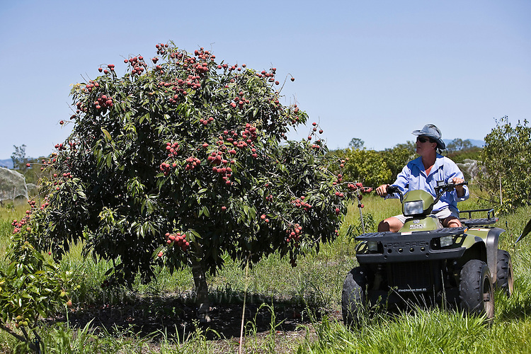 AUSTRALIA, Queensland, Mareeba.A north Queensland lychee farmer with a tree loaded with ripe fruit.  Lychees are native to south China but grow well in the tropical climate of north Queensland.