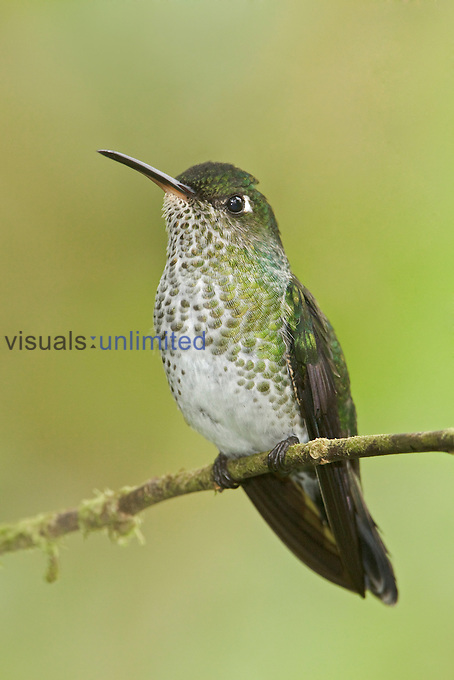Many-spotted Hummingbird (Taphrospilus hypostictus) perched on a branch, Wildsumaco Reserve, Ecuador.