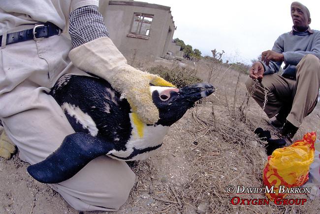 Phil Whittington Working On African Penguin