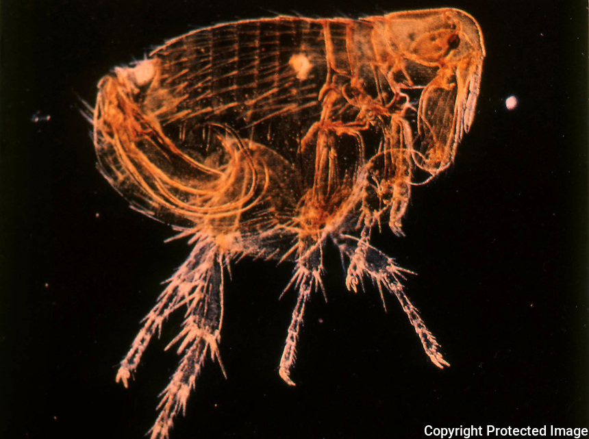 Bubonic Plague:  The Rat Flea, Xenopsylla Cheopis, may harbor swarms fo bacilli in stomach.