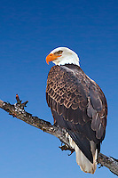 Perched, Bald Eagle, portrait, Swan Valley Idaho
