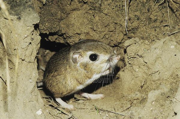 Ord's Kangaroo Rat (Dipodomys ordii), adult leaving burrow, Starr County, Rio Grande Valley, Texas, USA