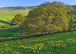 Columbia Hills State Park, Washington<br /> Columbia Gorge National Scenic Area, Folds of the Columbia Hills with a single Garry oak (Quercus garryana) and scattered wildflowers