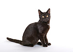 6 month old Kitten, Cat, Black, in studio, UK
