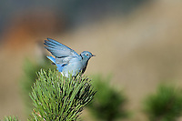 Bluebird, Rocky Mountain National Park, Colorado