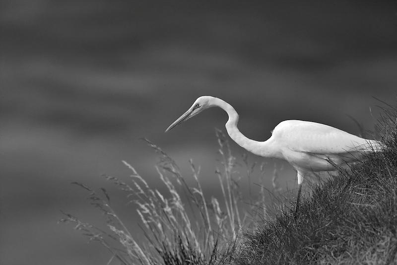 Great Egret (Ardea alba) hunting on grassy slope. Near Napa Valley, California
