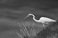 Great Egret (Ardea alba) hunting on grassy slope. Near Napa Valley, California