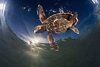 hawksbill sea turtle, Eretmochelys imbricata, hatchling, Turneffe Atoll, Belize Barrier Reef, Belize, Caribbean Sea, Atlantic Ocean