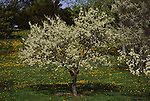 2307-CB American Plum, Prunus americana at Minnesota Landscape Arboretum