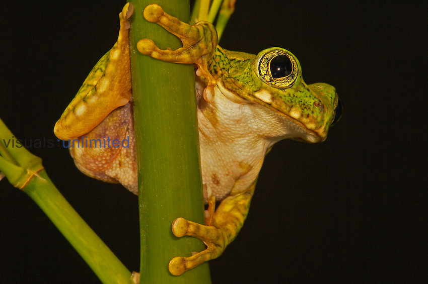 Green Big Eye Tree Frog ,Leptopelis vermiculatus,