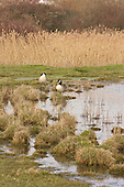 Canada Goose (Branta canadensis) Territorial pair resting on the edge of a fresh water pool in wet grasslands, Cuckmere Valley, East Sussex. Originally Canada Geese were introduced to Britain in St James Park, London in the mid 17th century,