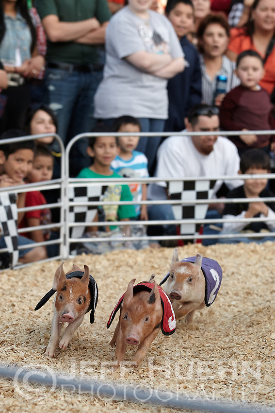 SAN ANTONIO, TX - FEBRUARY 23, 2013: The Swifty Swine pig races at the 2013 San Antonio Stock Show & Rodeo at the AT&T Center. (Photo by Jeff Huehn)
