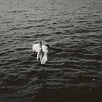 Scan from vintage print. Negative file#96-210K #8. Back view of someone diving into Moosehead Lake, ME. 1996