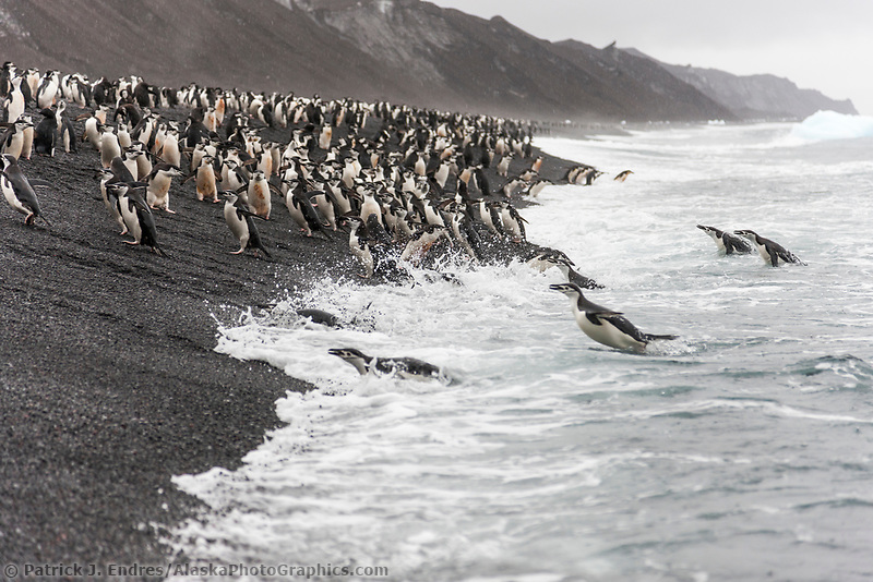 Large chinstrap penguin colony on the beach at Baily Head, Deception Island, Antarctica.