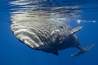 Sperm whale; Physeter macrocephalus; Cetacea; Faial; Azores; Portugal; Northern Atlantic; Europe;